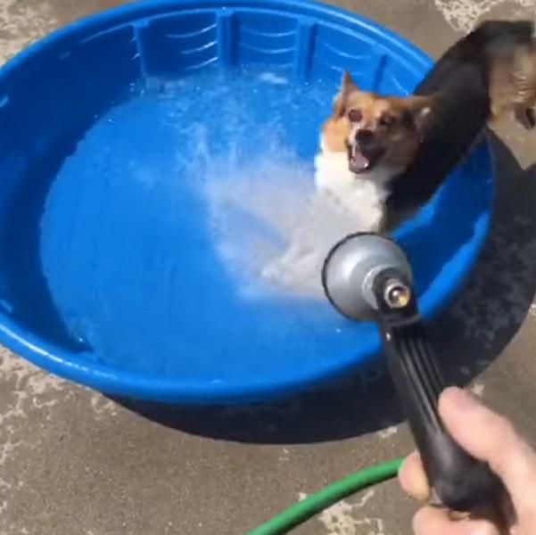 「水浴びしたいワン!」飼い主に意地悪され全然水浴びできないコーギーが可愛すぎる【動画】