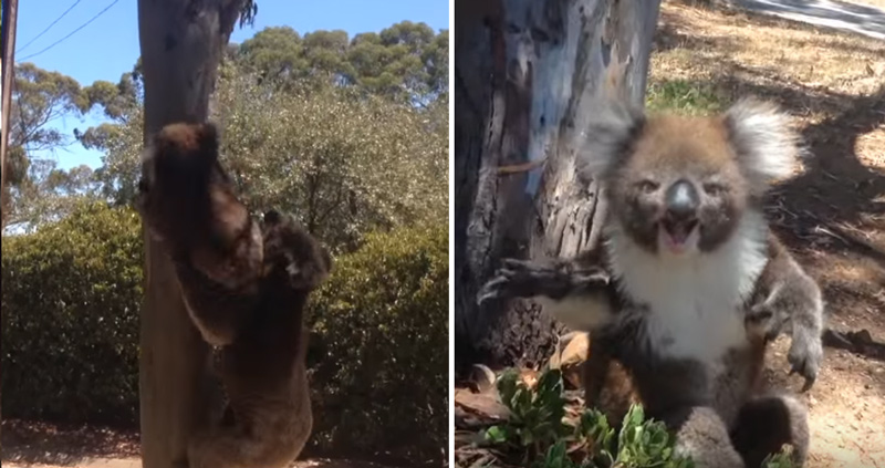 【壮絶】ユーカリ木を巡るコアラ同士の仁義なきバトル! 負けたコアラの悲痛な叫びが胸に迫る