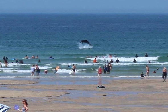 Dolphins in Cornwall delight tourists on beach