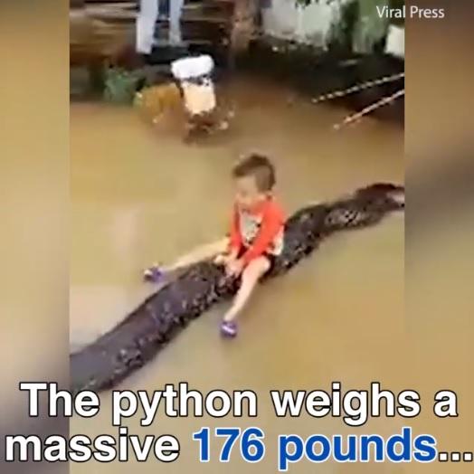 衝撃!6メートルの巨大パイソンにまたがって遊ぶ3歳の男の子【映像】