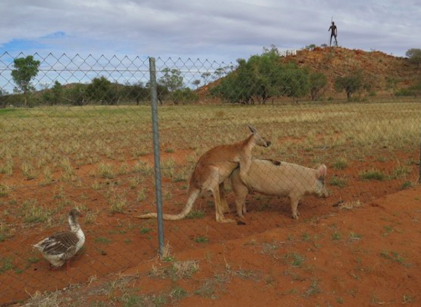 Kangaroo has sex with a pig in Australia