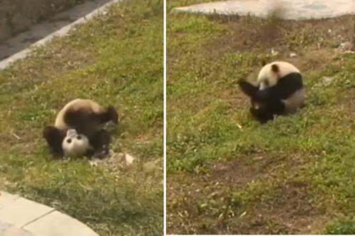 でんぐり返し大好き! ゴロゴロずっと転がるだけのパンダが可愛すぎるwww【動画】