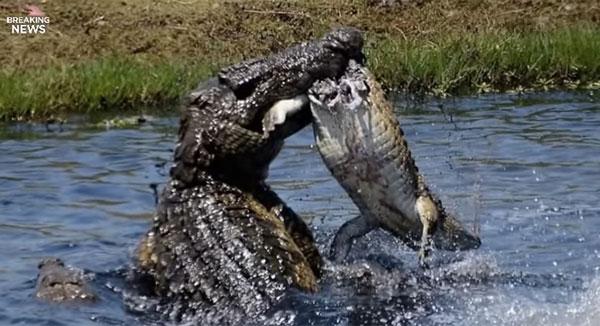 またワニかよ!巨大クロコダイル同士の仁義なき戦いが超絶スゴすぎる!【動画】