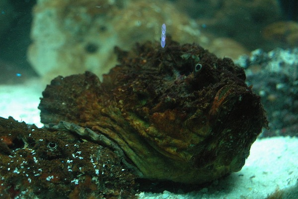 worst ways to die in australia, stonefish
