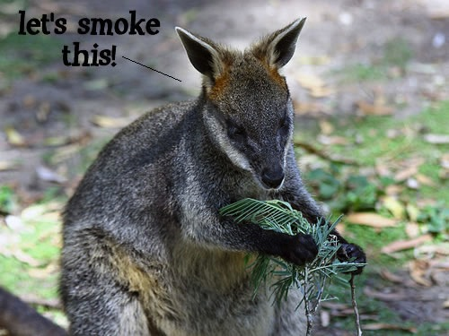 wallaby.jpg