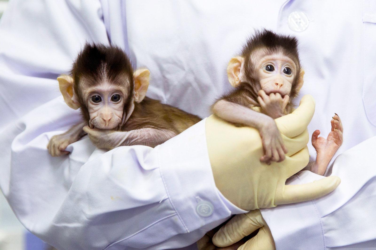 Estos dos monitos son los primeros primates clonados del mundo