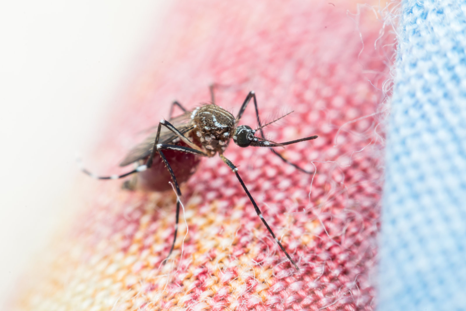 Macro of mosquito (Aedes aegypti) sucking blood close up. Mosquito is carrier of Malaria, Encephalitis, Dengue and Zika virus