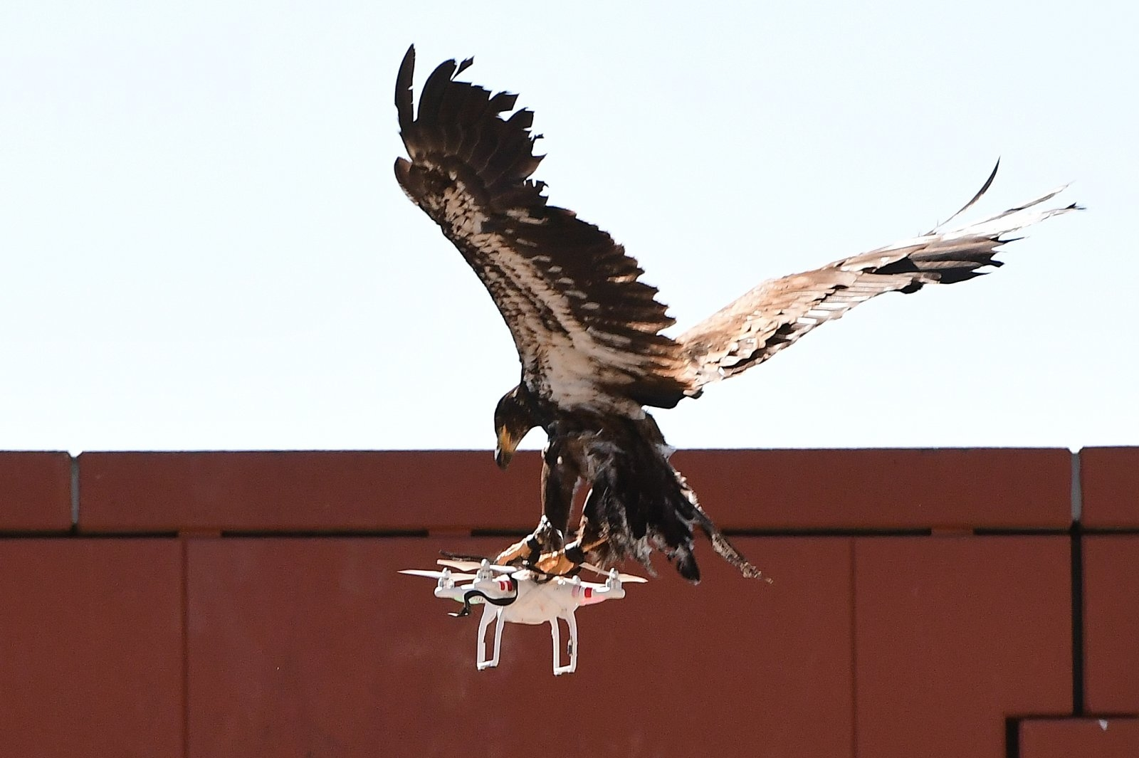 A young eagle trained to catch drones displays its skills during a demonstration organized by the Dutch police as part of a program to train birds of prey to catch drones flying over sensitive or restricted areas, at the Dutch Police Academy in Ossendrecht, The Netherlands, on September 12, 2016.   Dutch police are adopting a centuries-old pursuit to resolve the modern-day problem of increasing numbers of drones in the skies, becoming the world's first force to employ eagles as winged warriors. / AFP / EMMANUEL DUNAND        (Photo credit should read EMMANUEL DUNAND/AFP/Getty Images)