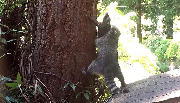 ママから木登りを教わる赤ちゃんアライグマが可愛すぎる【動画】