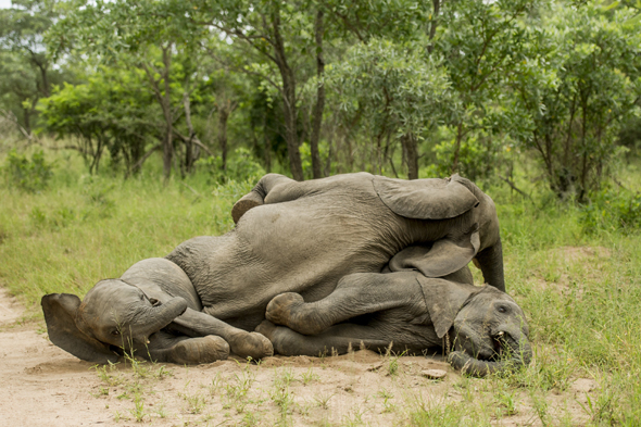 Under the influence! Young elephants get 'drunk' in South Africa