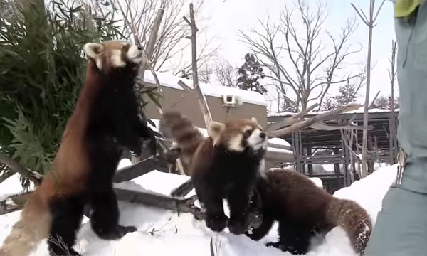 見た目は可愛いのに… リンゴが欲しいレッサーパンダたちがイジきたなさすぎるwww【動画】