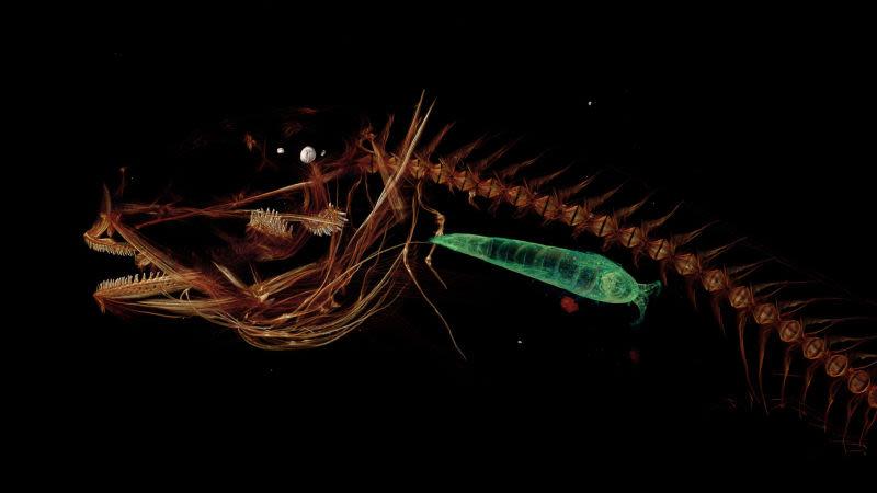 Pseudoliparis swirei