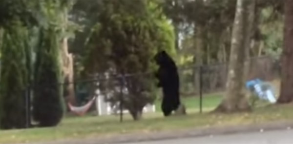 人間かよ!街をうろつくクマの二足歩行が完璧すぎると話題に【動画】