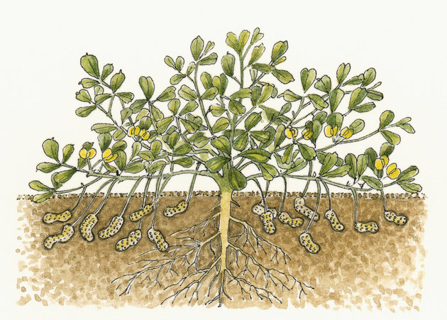 Illustration of Arachis hypogaea (Peanut, or Groundnut ), showing leaves above soil and cross section of peanuts and roots underground