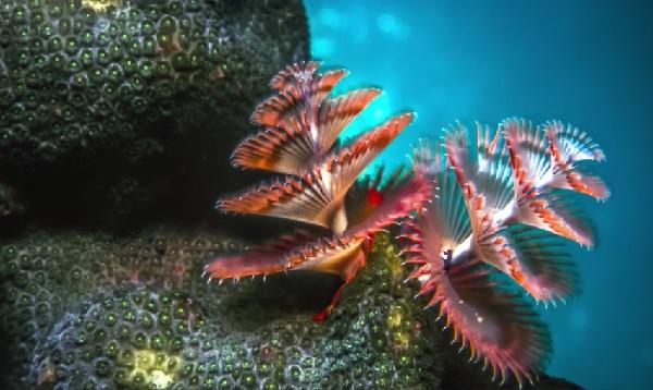 海の中のクリスマスツリー! 多毛類の動物「イバラカンザシ」がカラフルで美しい