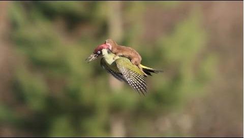 ネットでバズった「イタチを乗せて飛ぶキツツキ」が歌になって話題にwww【動画】