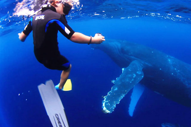 Kids swim with 40 tonne humpback whales in amazing video clip