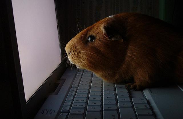 guinea pig ibook