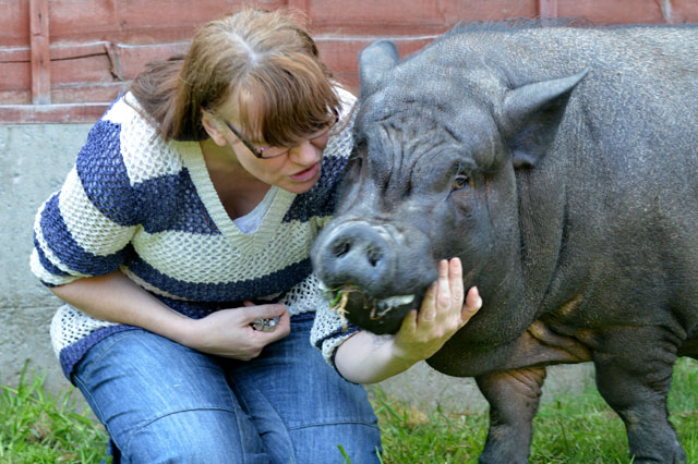 What a porker! Mum faces eviction because her micro pig is now a 300lb beast