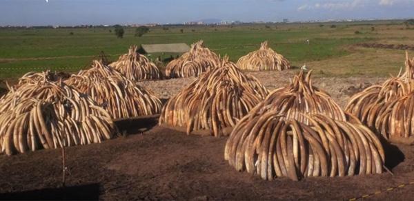 その価値33億円!ケニアが105トンもの象牙を焼やしてまで届けたかったメッセージとは?【動画】