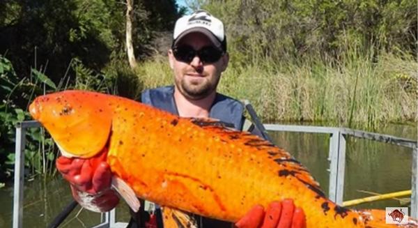 殺人魚フライングキラーか!?超巨大化した金魚や鯉が次々と発見される