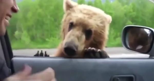 野生の子グマが車の窓越しにエサをねだりに来て可愛すぎる【動画】