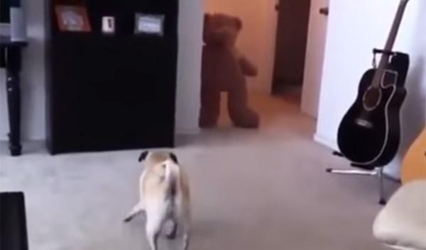パグ犬がテディベアに驚いて衝撃展開!可愛すぎる動画が話題に