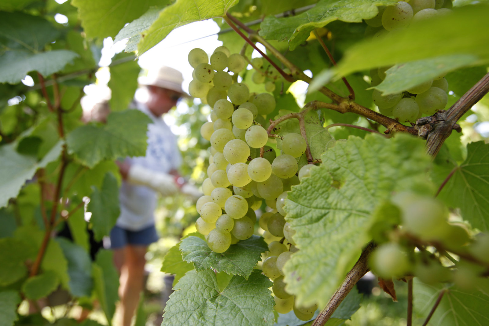 A seasonal worker harvests grapes of Auxerrois intended to make Cremant sparkling wine at the  Ammerschwihr vineyard in the Alsace region near Colmar, eastern France, August 24, 2011. The harvest of grapes for Cremant d'Alsace, a sparkling wine made according to the Champagne method, traditionally opens the harvest season in Alsace, specially early this year due to climatic reasons. REUTERS/Vincent Kessler (FRANCE - Tags: AGRICULTURE FOOD)