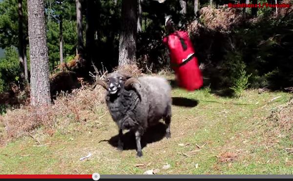 サンドバッグを完膚なきまでに叩きのめす羊の動画が話題