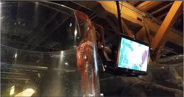 お客さんから悲鳴!水族館の水槽から脱出しようとするタコが話題に【動画】