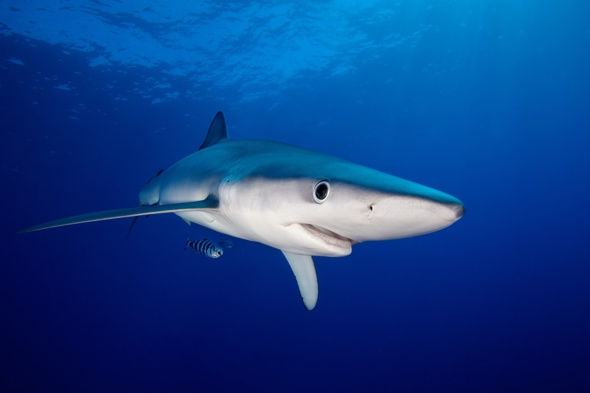 Tourists warned after several blue sharks spotted at French beaches