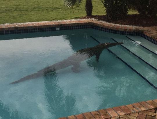 またフロリダかよ!2メートル級の巨大ワ二、民家のプールでくつろいでて通報されるwww【動画】