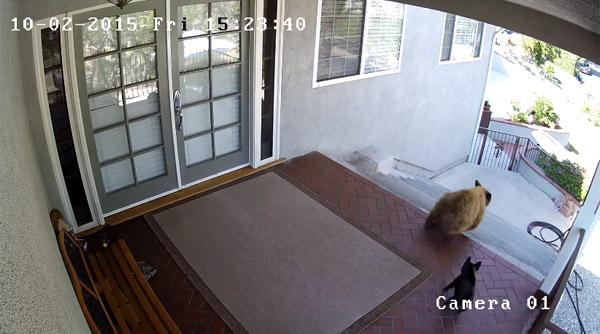 敷地内に侵入してきたクマ2頭を追い払うフレンチブルが頼もしすぎる【動画】