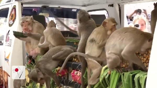 トラック3台分のフルーツ! タイの「モンキー・ビュッフェ・フェスティバル」でサルたちにごちそうが振る舞われる