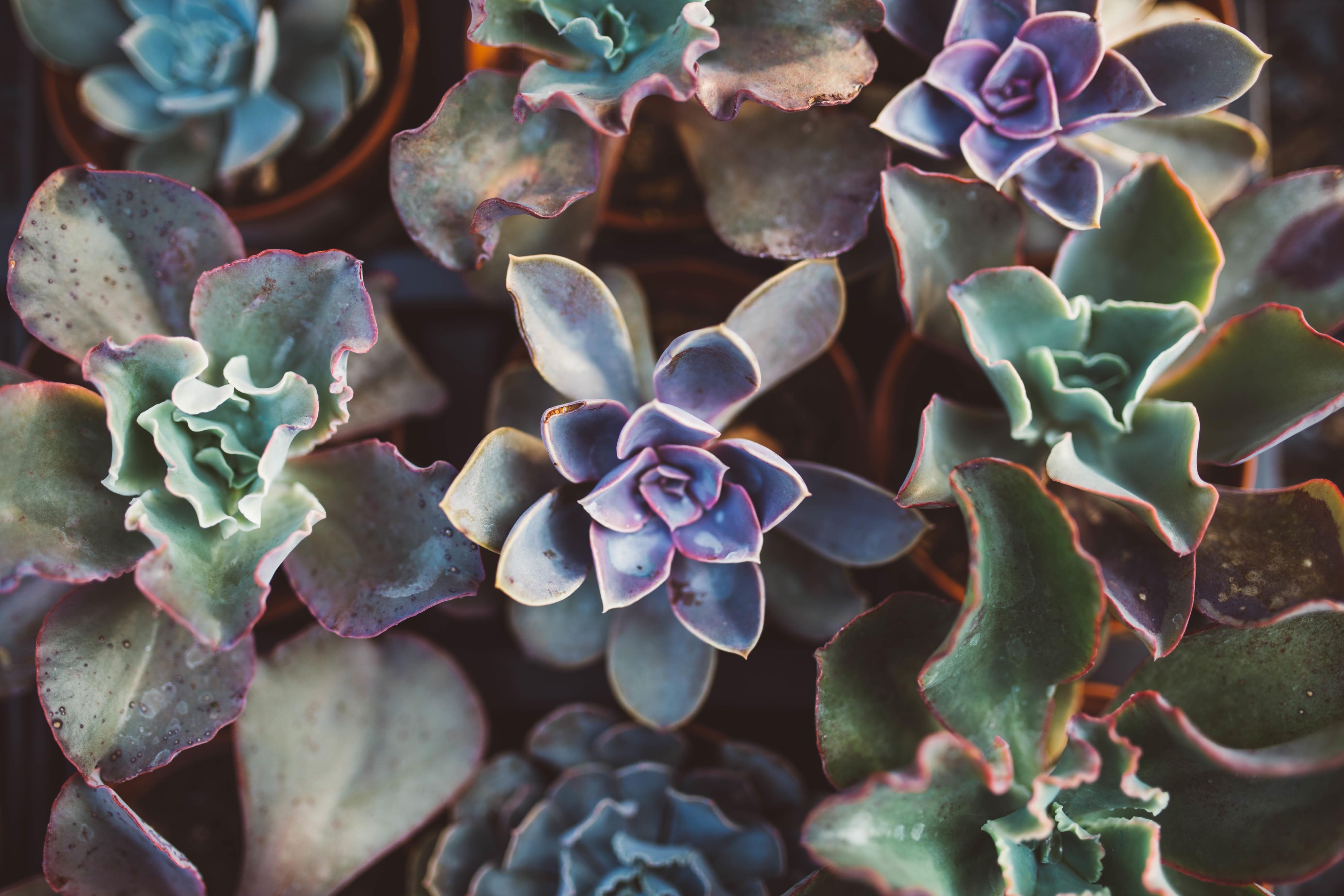 succulents-in-pot