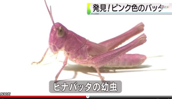 小学生が発見したピンク色のバッタに専門家らが驚き