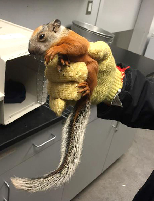 CREDIT: U.S.C.B.P./Rex Features Mandatory Credit: Photo by U.S.C.B.P./REX (4462467a) The baby squirrel after being found on airplane Baby squirrel hitchhikes on airplane, Houston, Texas, America - Feb 2015 FULL COPY: http://www.rexfeatures.com/nanolink/q1rp  A cute baby squirrel hitchhiked from Costa Rica to America onboard a passenger jet.  U.S. Customs and Border Protection officers working at the George Bush Intercontinental Aircraft were notified by aircraft operations employees Feb. 18 about a baby squirrel discovered aboard an aircraft.  The aircraft had just arrived from Costa Rica and passengers had deplaned when aircraft employees spotted the tiny squirrel. �During the course of performing our mission, we may encounter unusual opportunities to aid in the capture of seemingly harmless animals that have hitchhiked into the country,� said CBP Port Director Charles Perez.   �While there is a cute factor here, realistically, we understand that animals must be handled carefully.�