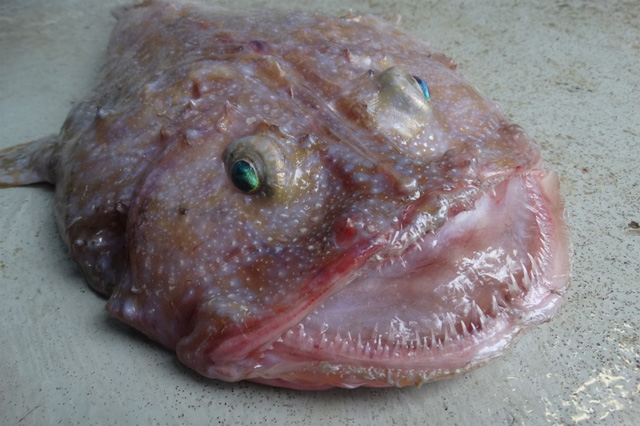 Weird fish with bug eyes pulled from deep sea - AOL UK Travel