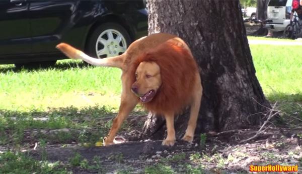 犬にたてがみを付けてライオンにして走らせたら?→町中が大パニックにwww【動画】