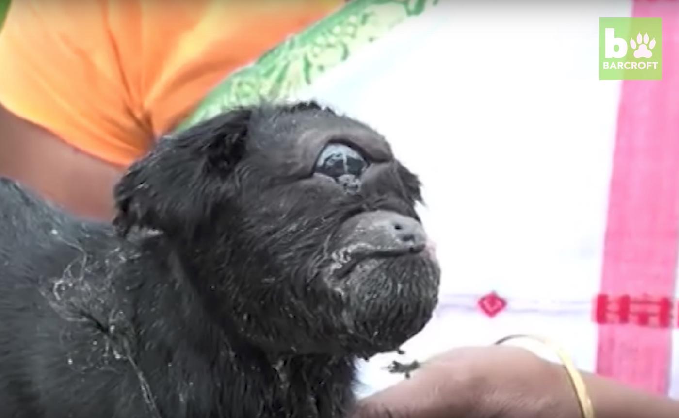 Este pequeño cabrito cíclope ha nacido con un único ojo