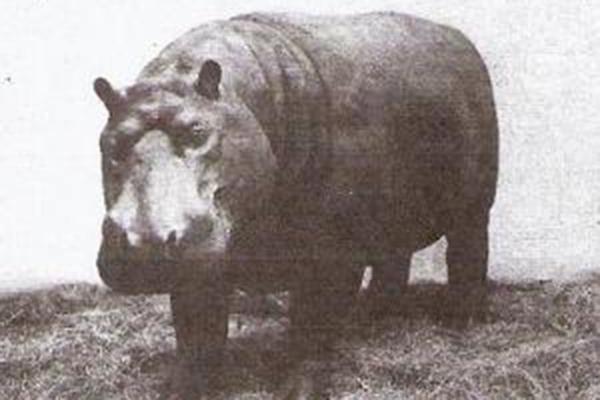 incredible animal journeys, amazing animals, huberta the hippo