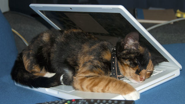Pink the cat, sleeping under the cover of a white macbook