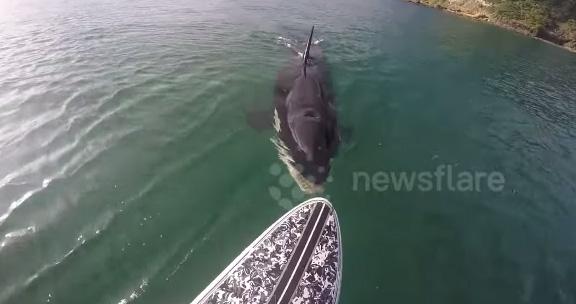 恐怖!海のギャング・巨大シャチがサーフボードを執拗に追い続ける!【動画】