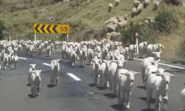 「永遠に続くメェ~」 大量のヒツジの群れがトコトコ大移動しているだけの動画が面白すぎるwww
