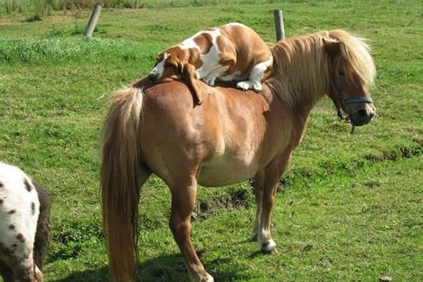 dogs sitting on dogs, dog sits on horse, dog sits on pony