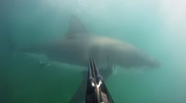 【衝撃】襲ってきたホオジロザメをモリで撃退したダイバーの主観映像!