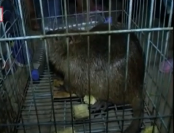 Giant rat weighing five kilos caught in China (video)