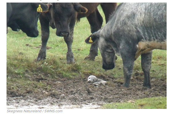 生後5日の赤ちゃんアザラシ、数十頭もの牛に囲まれているところを救出される【動画】