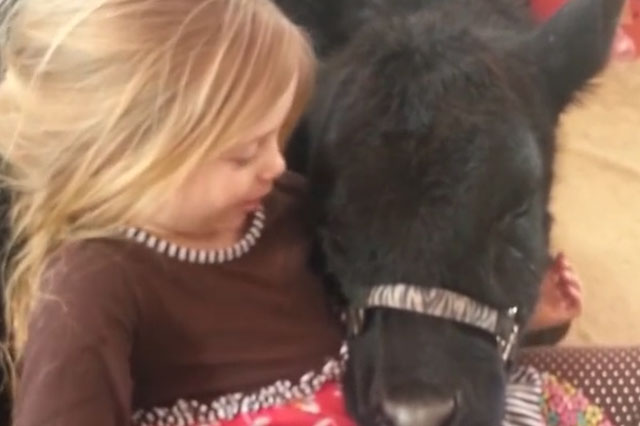 Little girl lets cow into the house - for a cuddle (naturally)