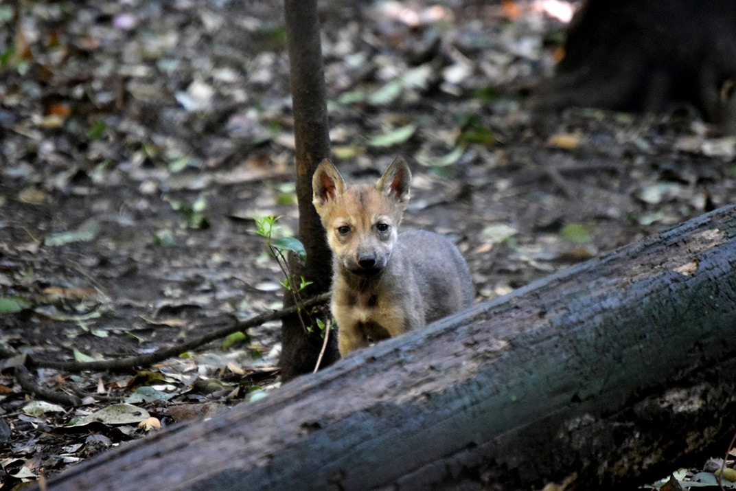 Nacen 7 lobeznos en Zoológico Los Coyotes